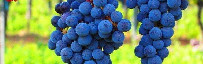 Решетка для винограда или как лучше подвязать лозу?