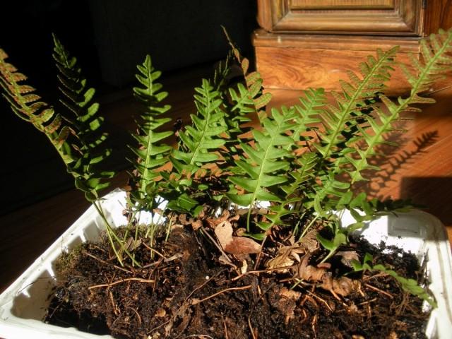 Полиподиум виргинский (Polypodium virginianum)