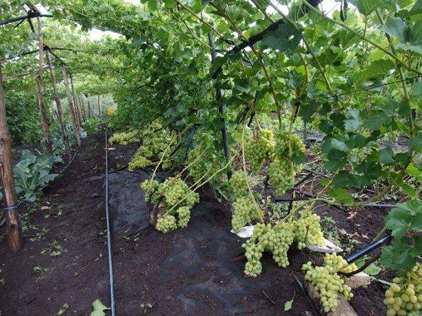 Как правильно орошать виноград в летние месяцы?
