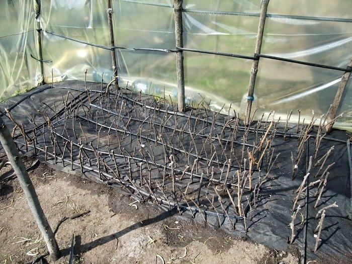 Полив винограда летом в первый год вегетации