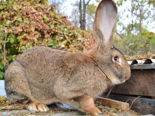 На фотографии кролик породы фландр