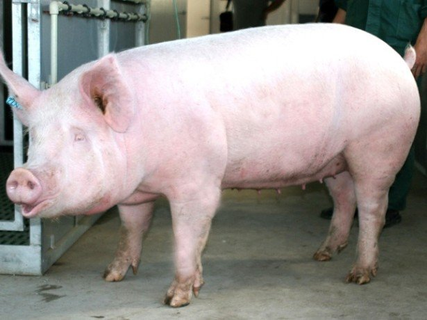 """На фото порода свиньи """"Крупная белая"""""""