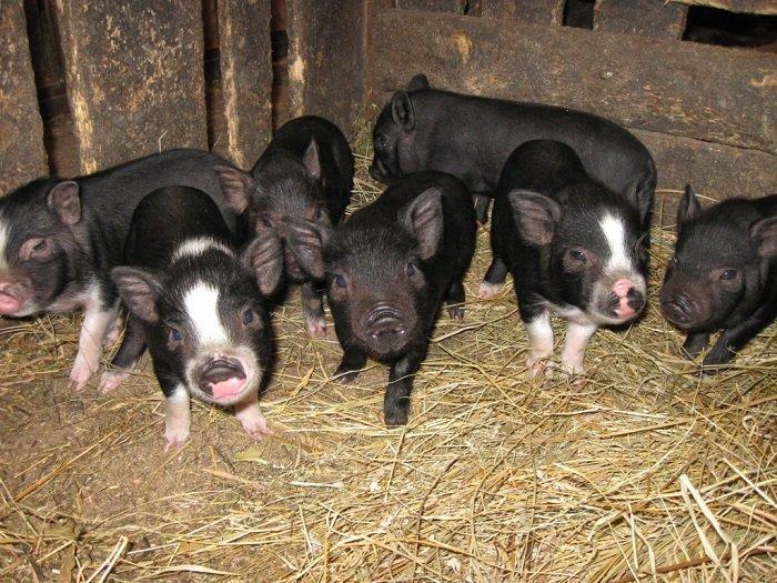 На фото поросята вьетнамской вислобрюхой свиньи
