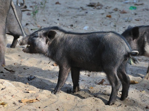 Фото свиньи