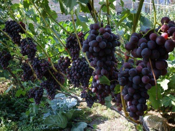 Выращивание саженцев винограда от черенкования до посадки.