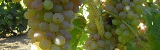 Посадка винограда — советы опытного садовода