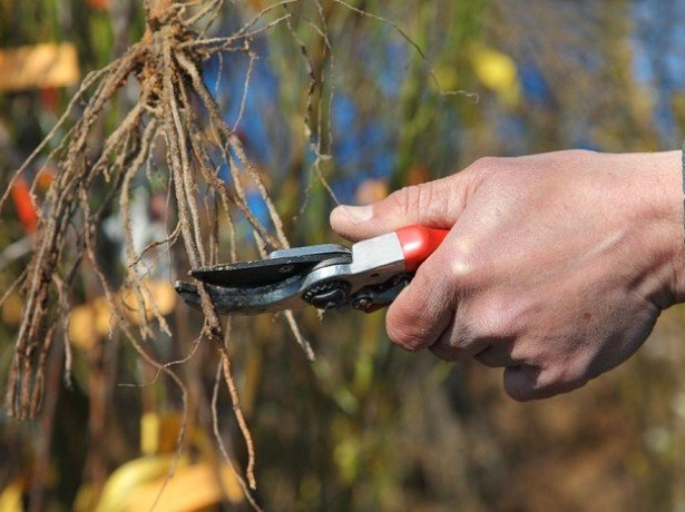 Как посадить виноград в ямы и создать для него наилучшие условия? фото