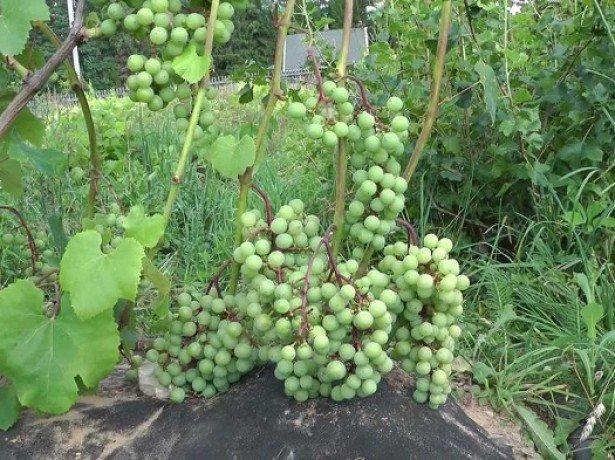 Как правильно посадить виноград в гряды?