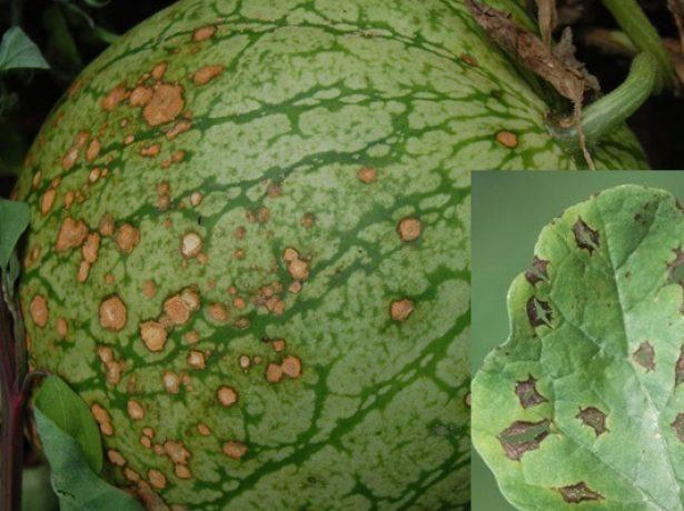 Антракноз на плодах арбуза