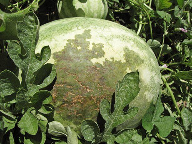 Бактериальная пятнистость на плодах арбуза