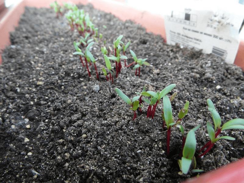 Как вырастить здоровую рассаду свёклы