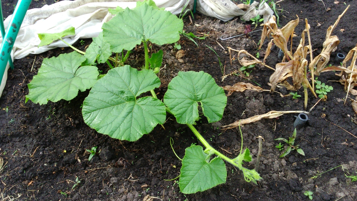 Рассада тыквы: от отбора семян до высадки на грядку