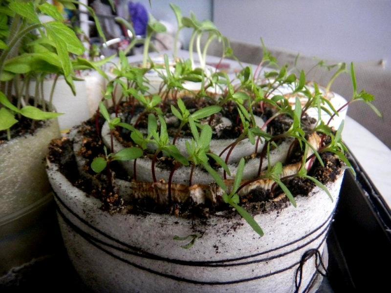 Томаты любят «улитку»: оригинальный способ выращивания рассады