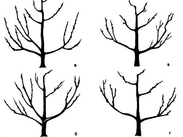 Формирование разреженно-ярусной кроны яблони
