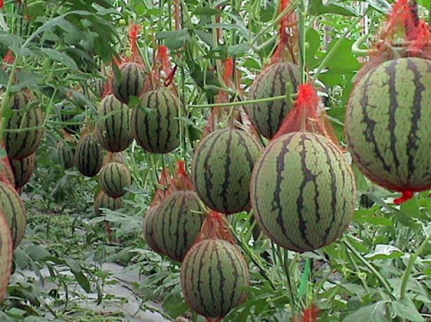 Плоды арбуза в теплице