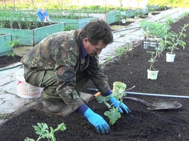 Высадка рассады арбуза