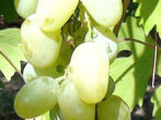 Гибридная форма винограда Арлекин