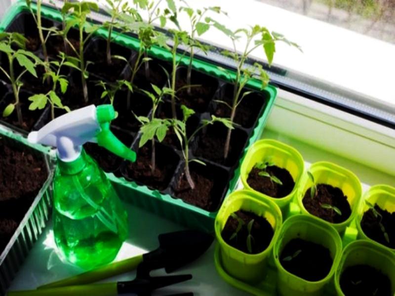 Важный этап выращивания рассады томатов – пикировка