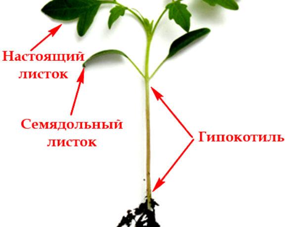 Названия частей рассады помидора