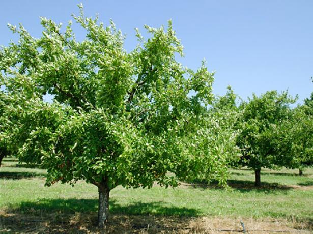 Дерево сливы Стенлей