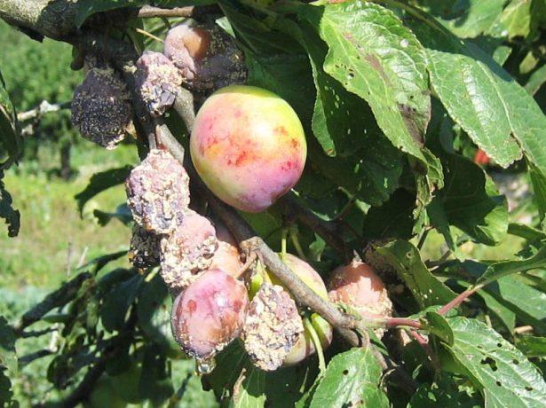 Летняя форма монилиоза (плодовая гниль)