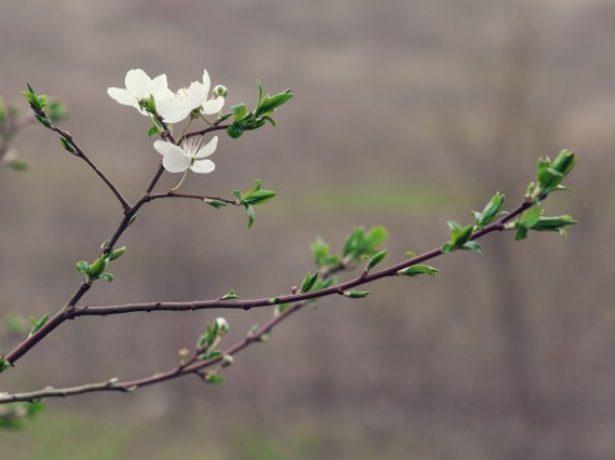 Вишня весной