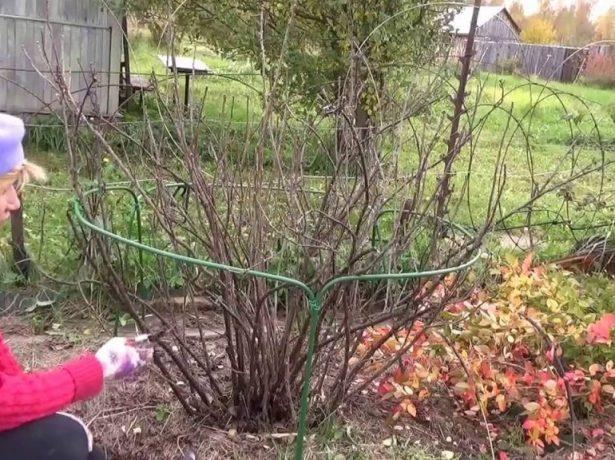 Осенняя обрезка смородины