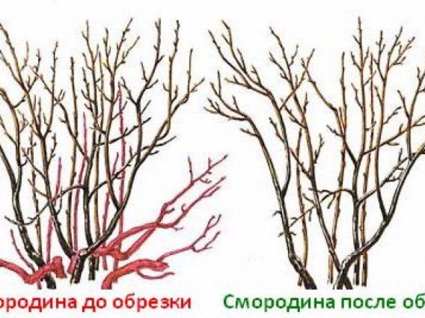 Схема обрезки взрослого куста смородины