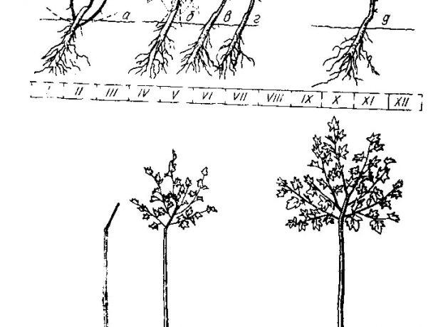 Схема формирования штамба на подвое