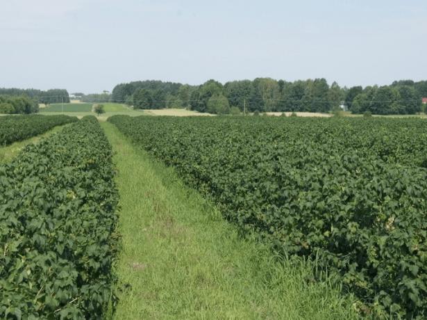 Промышленная плантация смородины