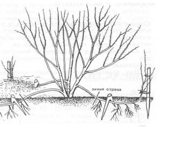Размножение куста отводками
