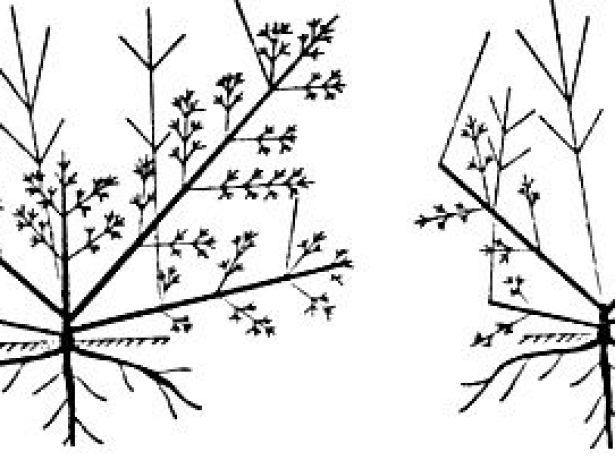 Куст до и после укорачивания скелетных ветвей