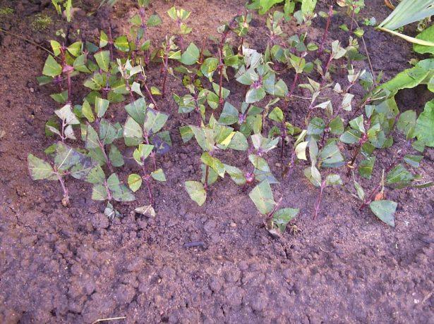 Плантация посаженных зелёных черенков