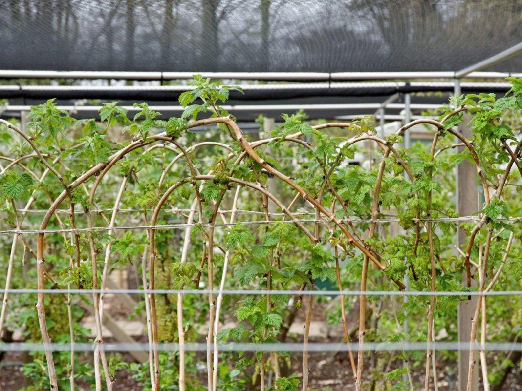 Уход за малиной весной: необходимые меры для отличного урожая