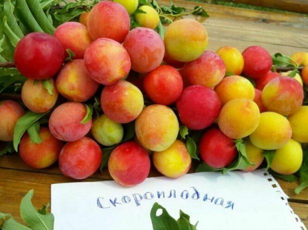 Плоды Скороплодной