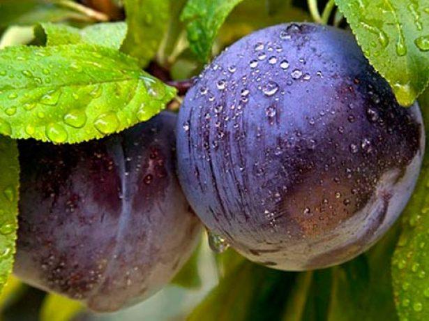 Плоды сливы в капельках воды