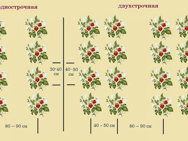 Одно- и двухстрочная схема посадки клубники