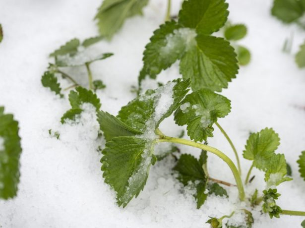Кусты клубники в снегу