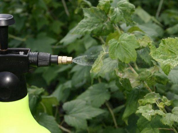 Опрыскивание листьев смородины