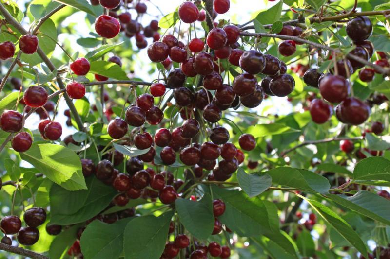 Грамотная подкормка вишни с весны до осени