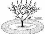 Схема приствольного круга вишни