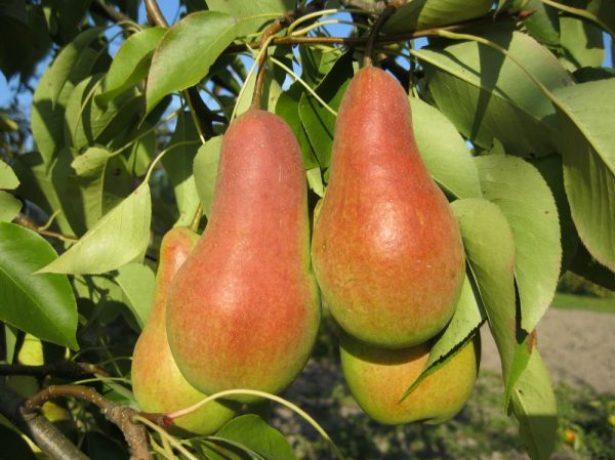 Плоды груши Талгарская красавица