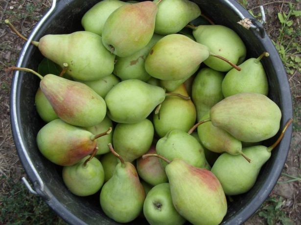 Собранные плоды груши Талгарская красавица