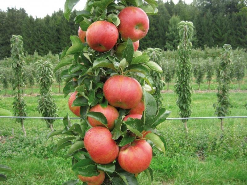 Колонновидная яблоня в Подмосковье: лучшие сорта с описаниями и фото