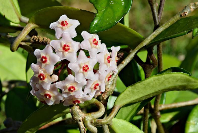 Хойя, или восковой плющ: можно ли держать цветок дома