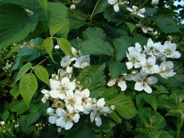 Цветы ежевики