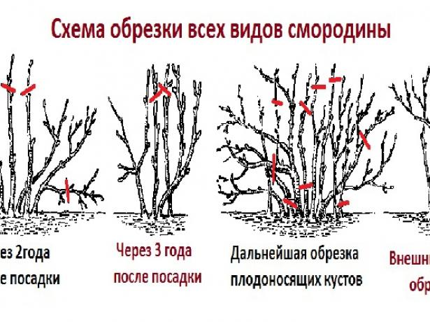 Схема формирования куста смородины