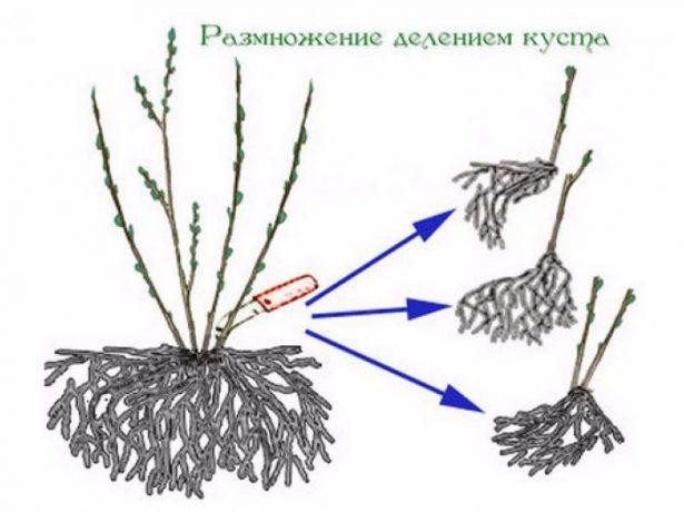 Схема деления куста смородины