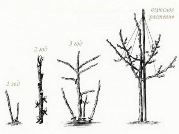 Схема выращивания штамбовой смородины