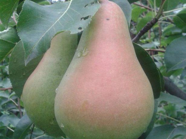 Плоды груши Кюре, выращенные в Торезе